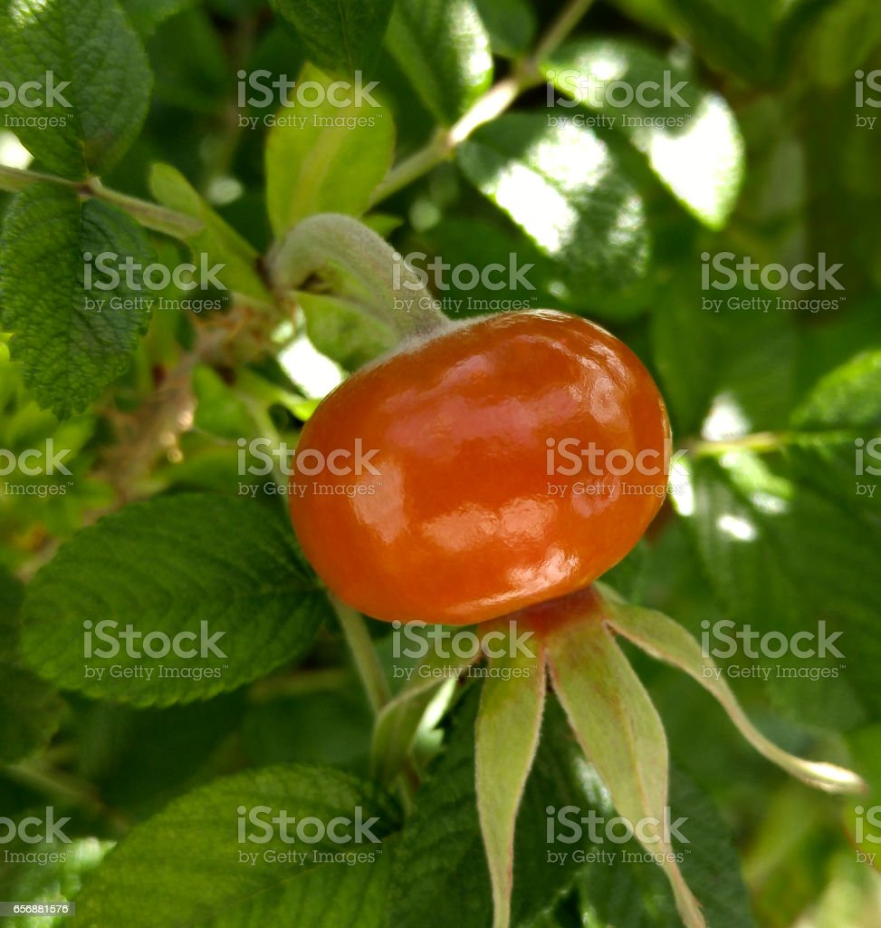 dog-rose fruit. red-orange rose hips in the garden. close-up. Rosehip plant with berries. Sunny day in the garden. Nature.'n 'n stock photo