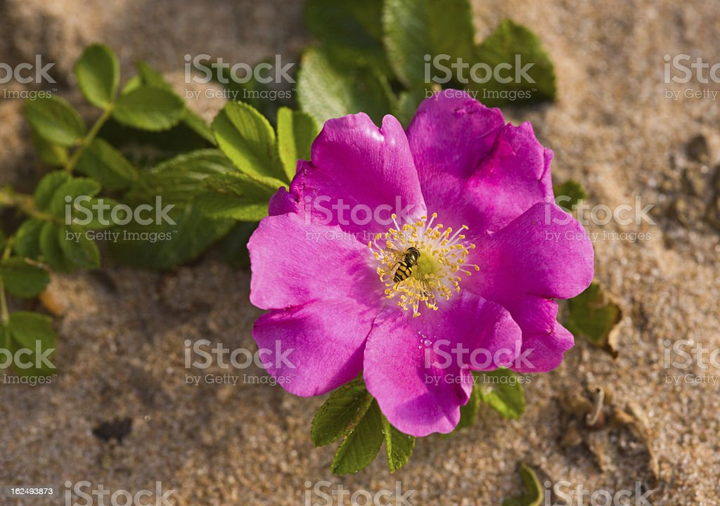 dogrose on beach sand royalty-free stock photo