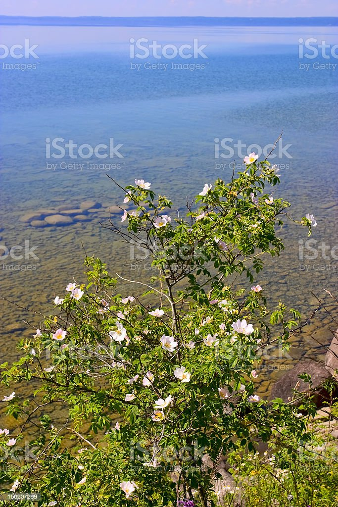 Dogrose stock photo
