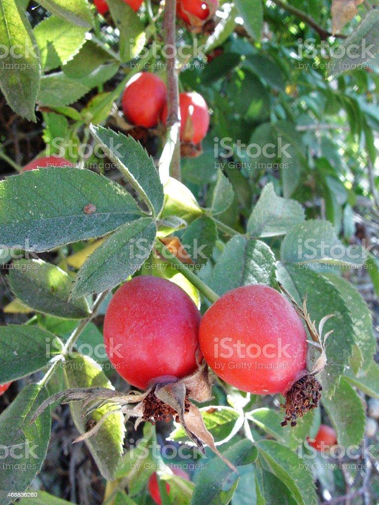 Chien-rose photo libre de droits