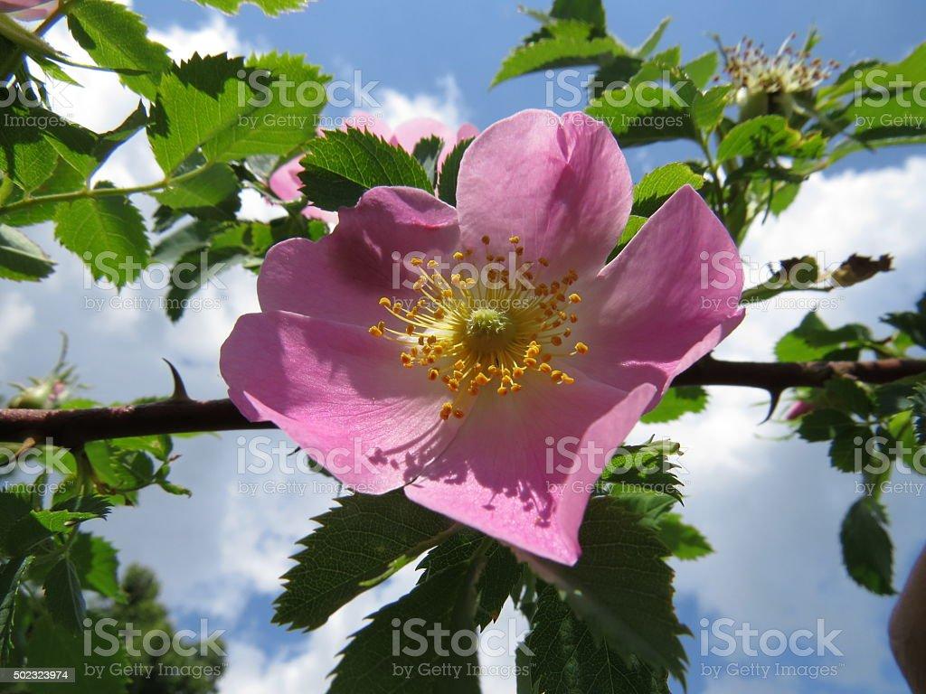 dog-rose stock photo