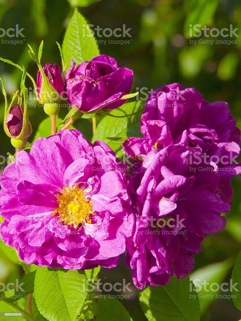 Dogrose royalty-free stock photo