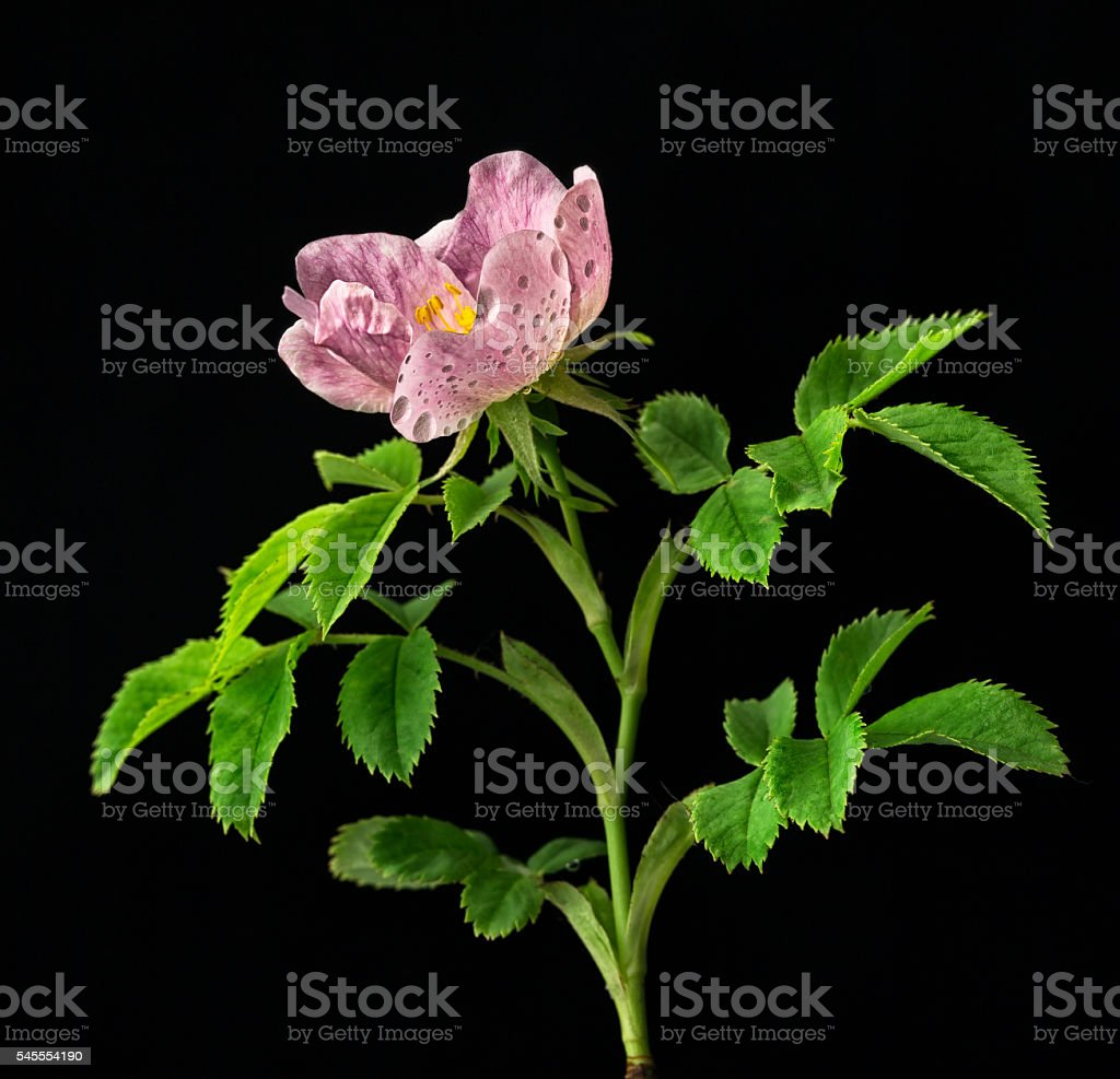 Dog-rose.Rosa canina L. royalty-free stock photo