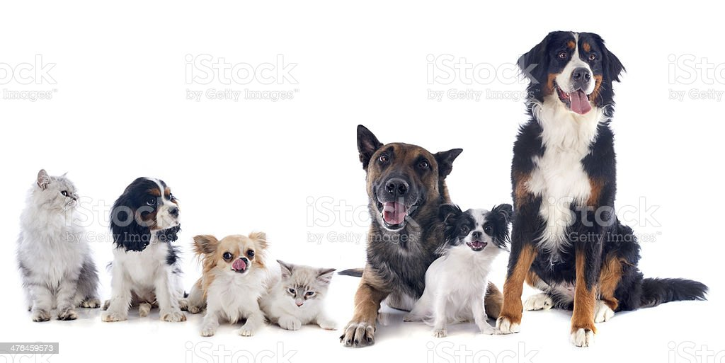 dogs and cats royalty-free stock photo