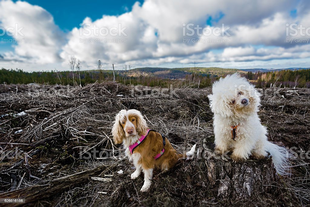 Dogs at a deforestation disaster area stock photo