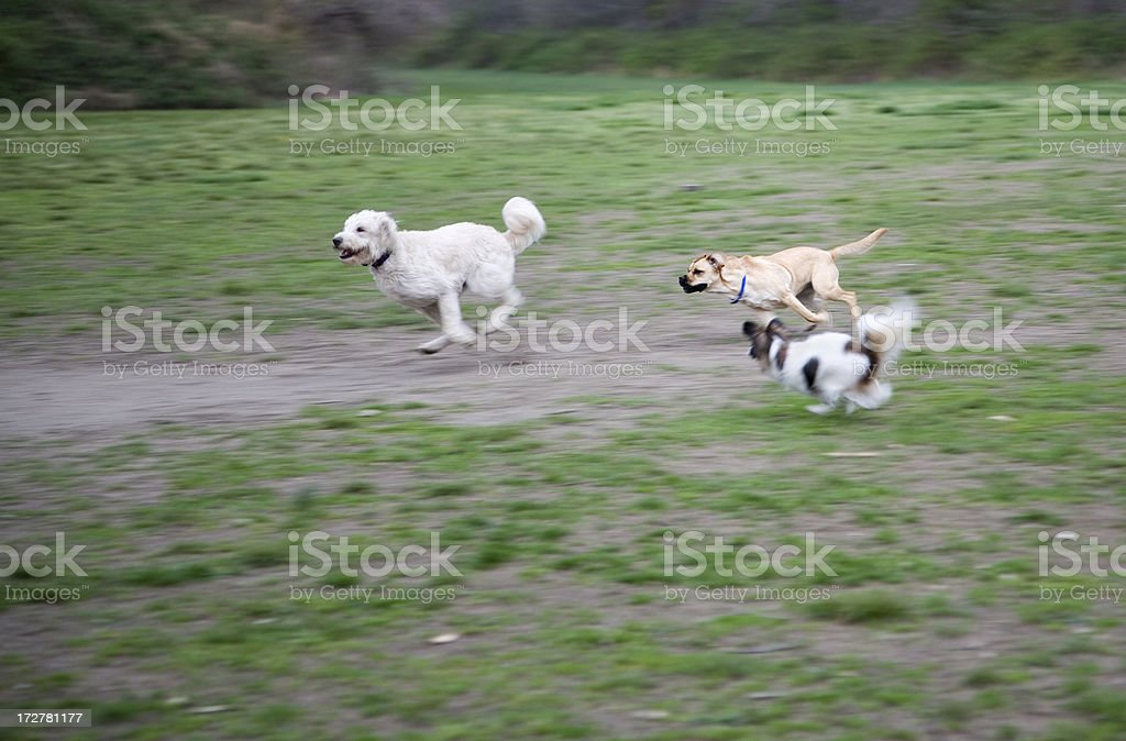 Dogs at Play! royalty-free stock photo