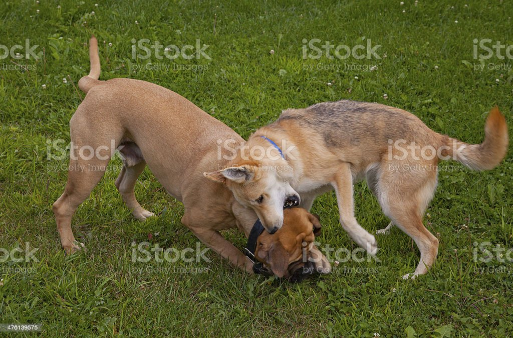 Dogs at Play Seven stock photo