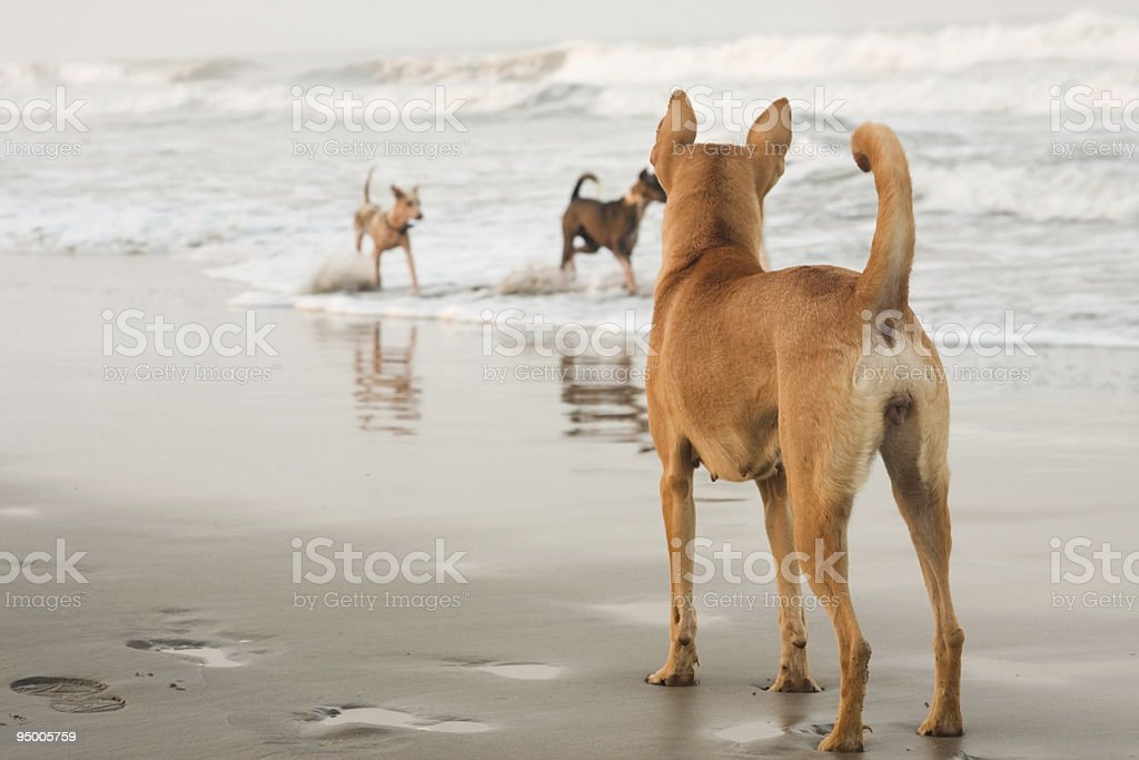 Dogs at the beach royalty-free stock photo