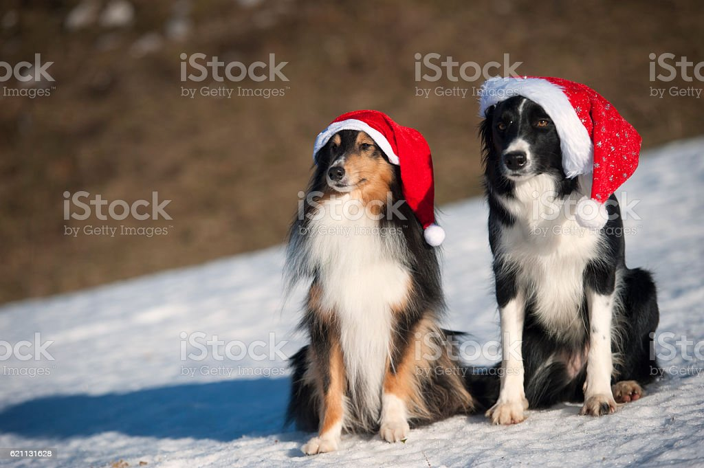 Dogs Border collie, Shetland Sheepdog wearing Santa Christmas hat xmas stock photo