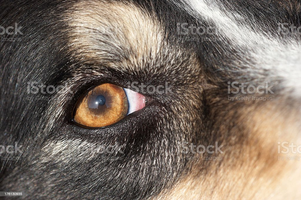 Dog's eye in close up royalty-free stock photo