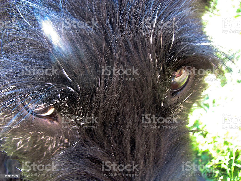 The eyes of a mean looking dog close up!