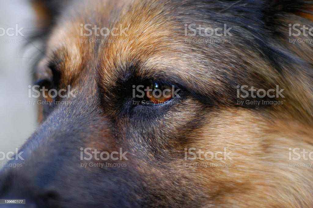dog`s eyes royalty-free stock photo