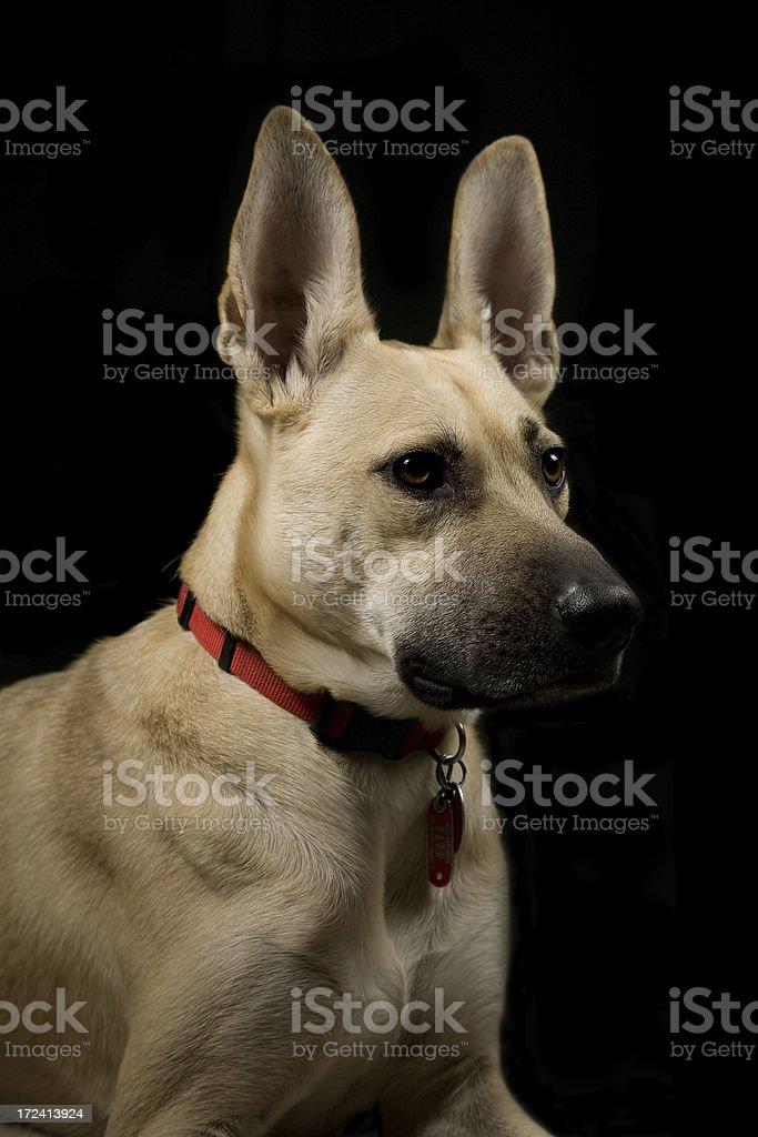 Dog's formal portrait stock photo
