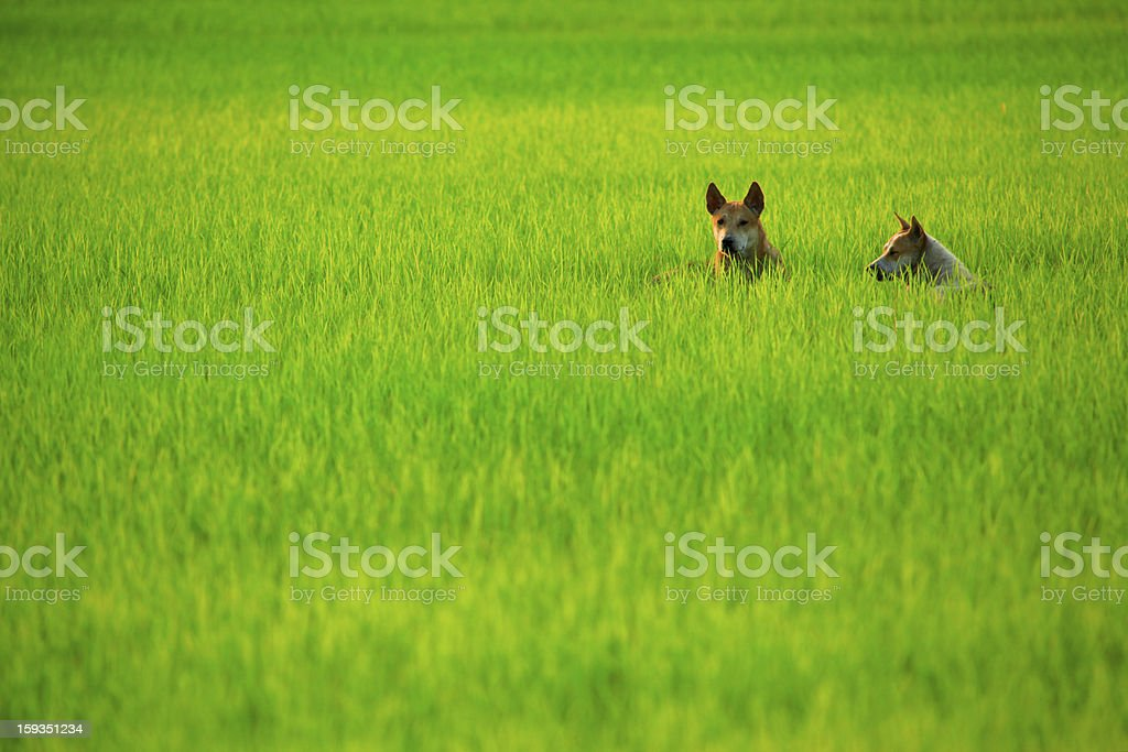 Dogs in Field royalty-free stock photo