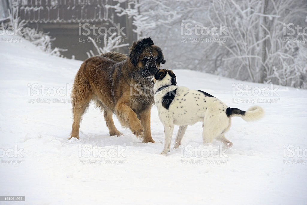 Dogs in snow royalty-free stock photo