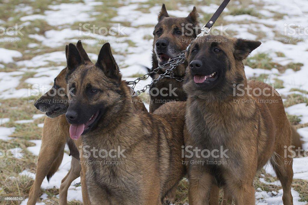 雪の中の犬 ロイヤリティフリーストックフォト