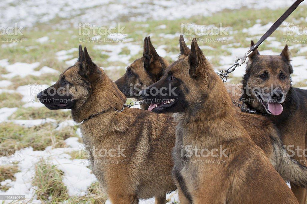 snow1 の犬 ロイヤリティフリーストックフォト