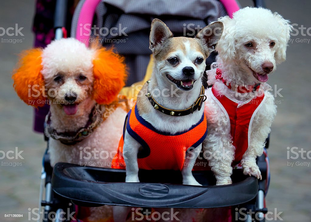 dogs in the cart , dog stroller , baby buggy, dog buggy stock photo