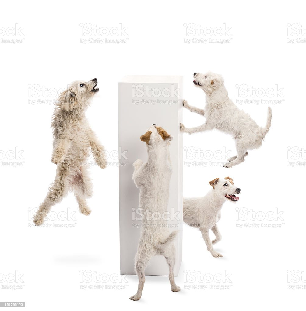 Dogs jumping and looking at pedestal against white background royalty-free stock photo
