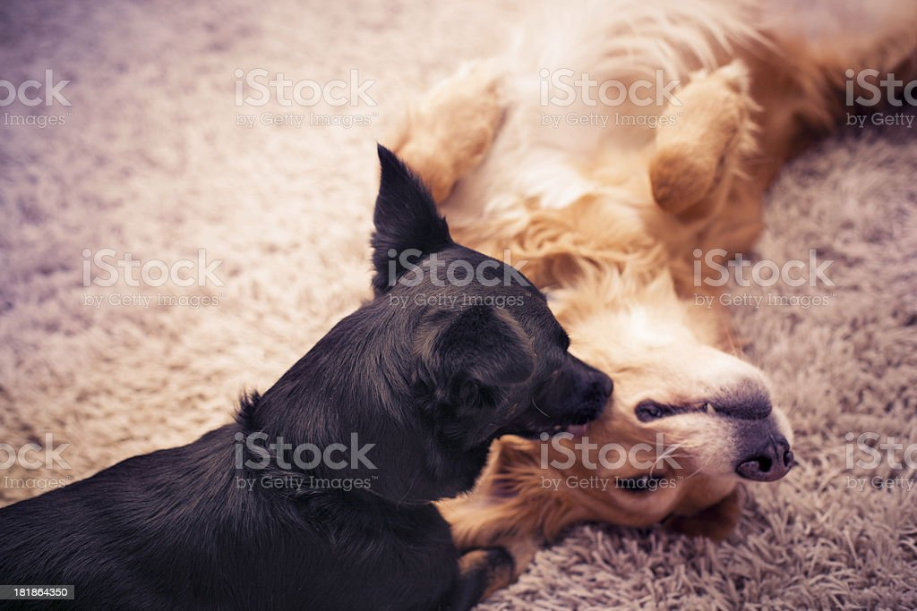 Dogs love royalty-free stock photo