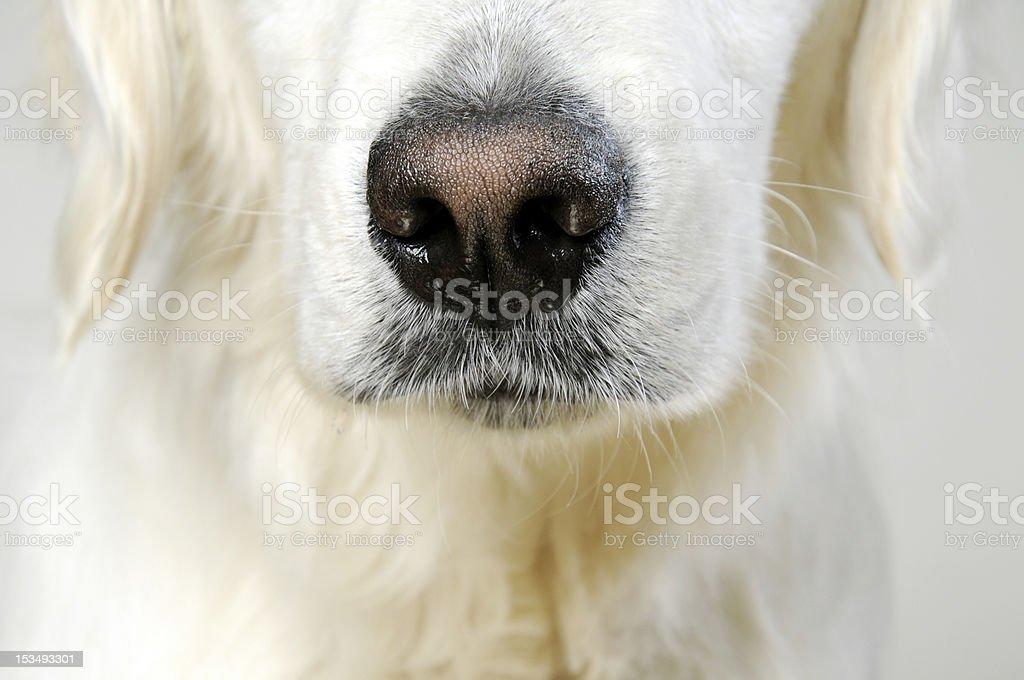 Dog's nose royalty-free stock photo