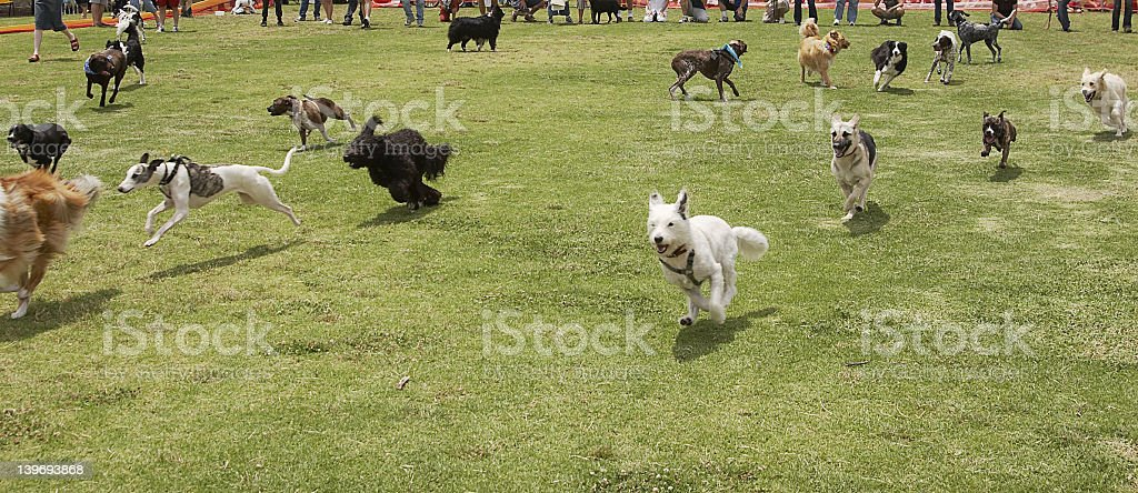 Dogs of different breeds running across grass royalty-free stock photo