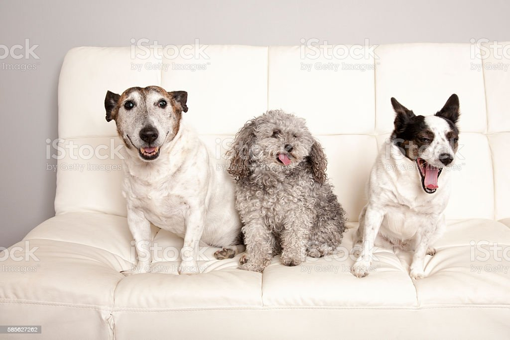 Dogs On A Couch stock photo