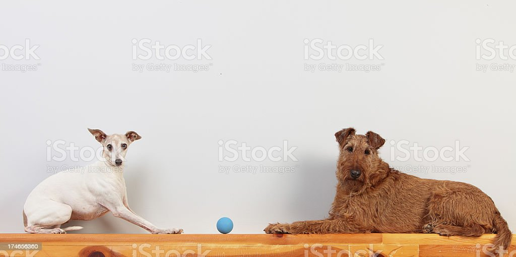 Dogs on a ledge stock photo
