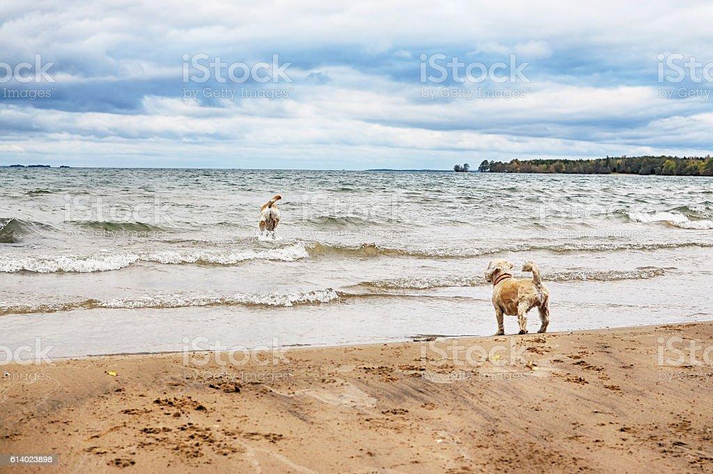 Dogs on beach stock photo