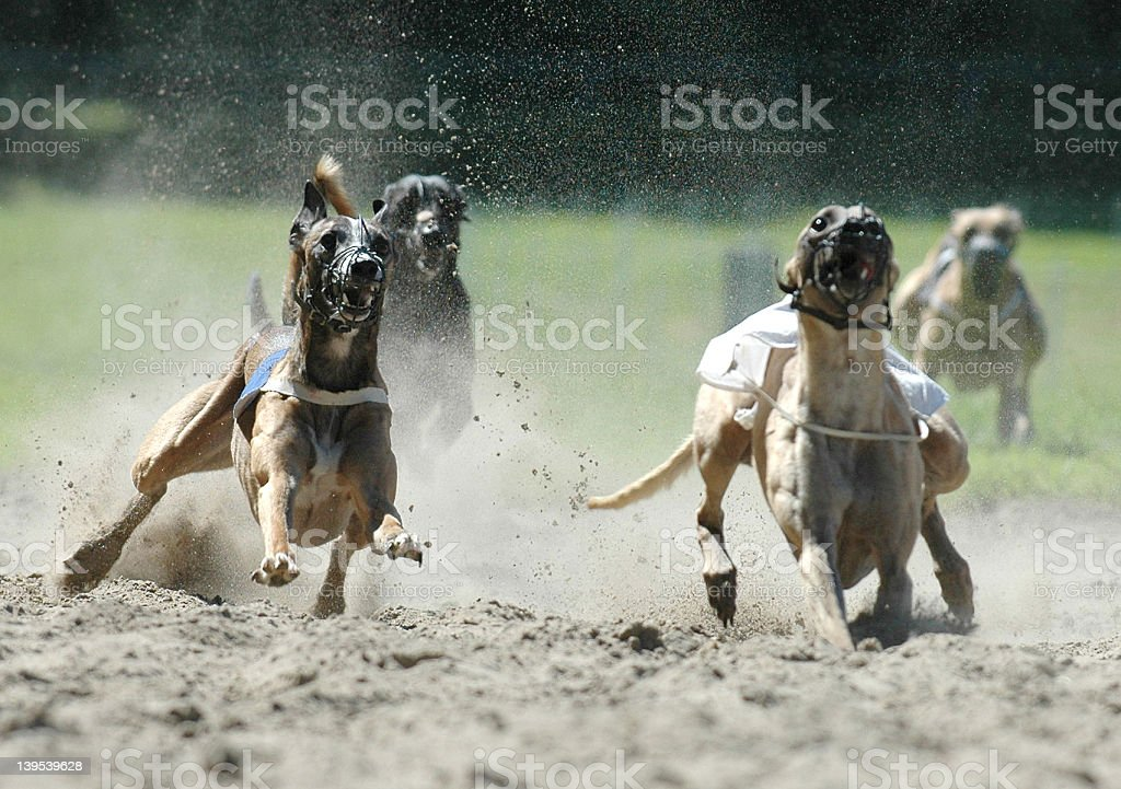 dogs on racetrack stock photo