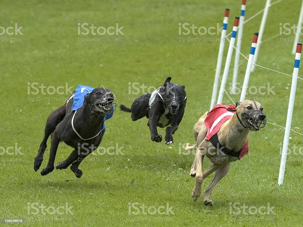 dogs on racetrack royalty-free stock photo