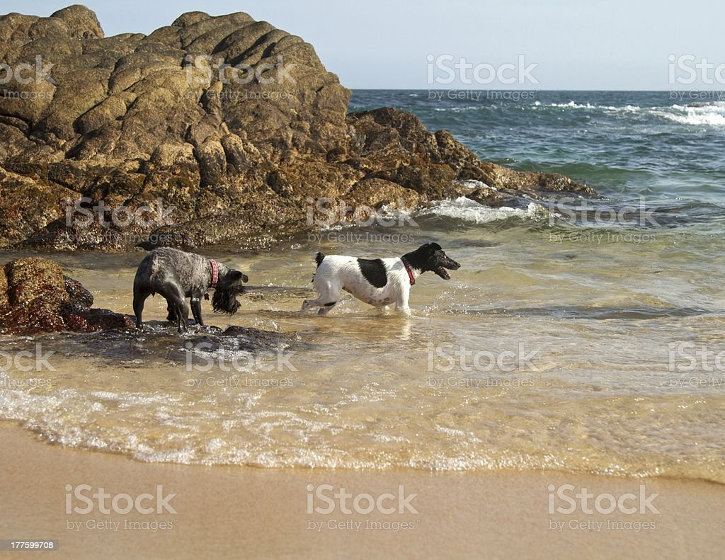 Dogs on the beach royalty-free stock photo
