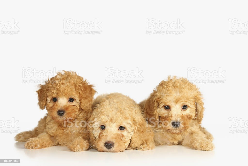 Dogs royalty-free stock photo