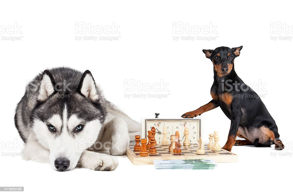 Dogs (Siberian Husky and Miniature Pinscher) royalty-free stock photo