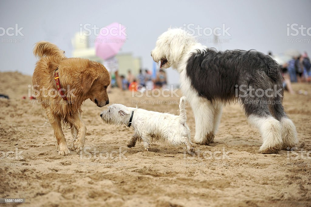 Dogs plaing on the beach royalty-free stock photo