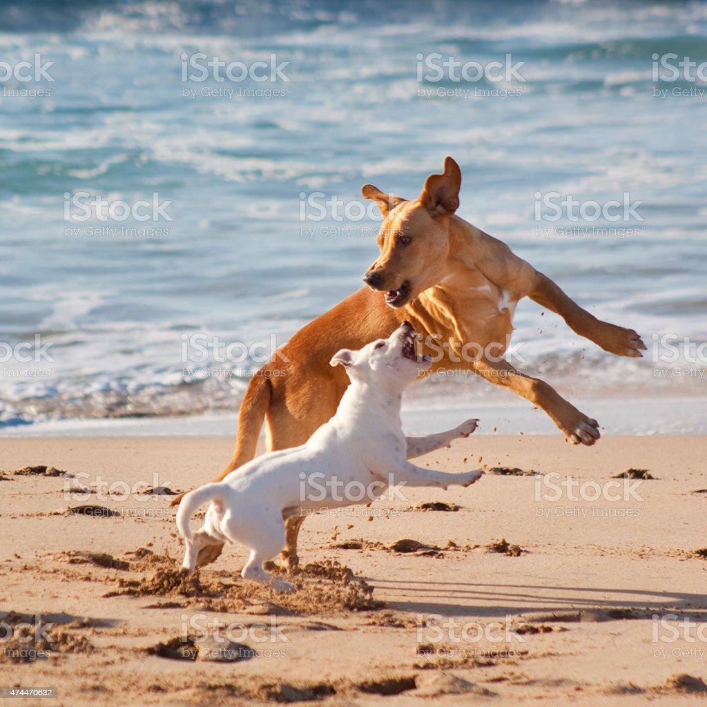 Hunde spielen am Strand Lizenzfreies stock-foto