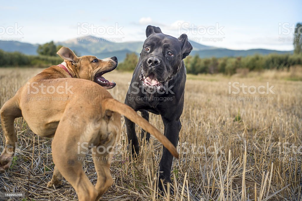 Dogs playing Friends royalty-free stock photo