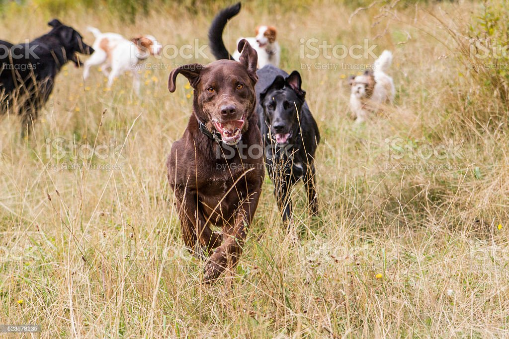 Dogs playing in a field stock photo