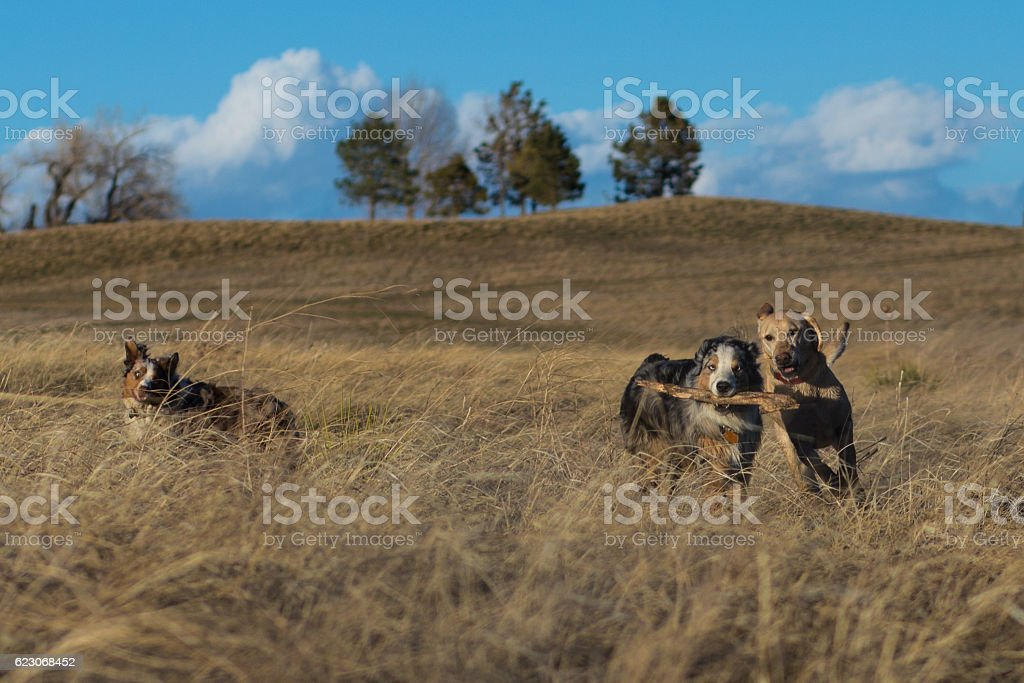 Dogs Playing In Field stock photo