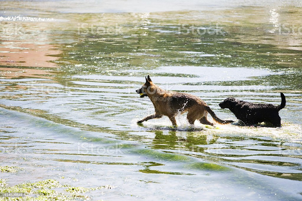Dogs playing in the sea royalty-free stock photo