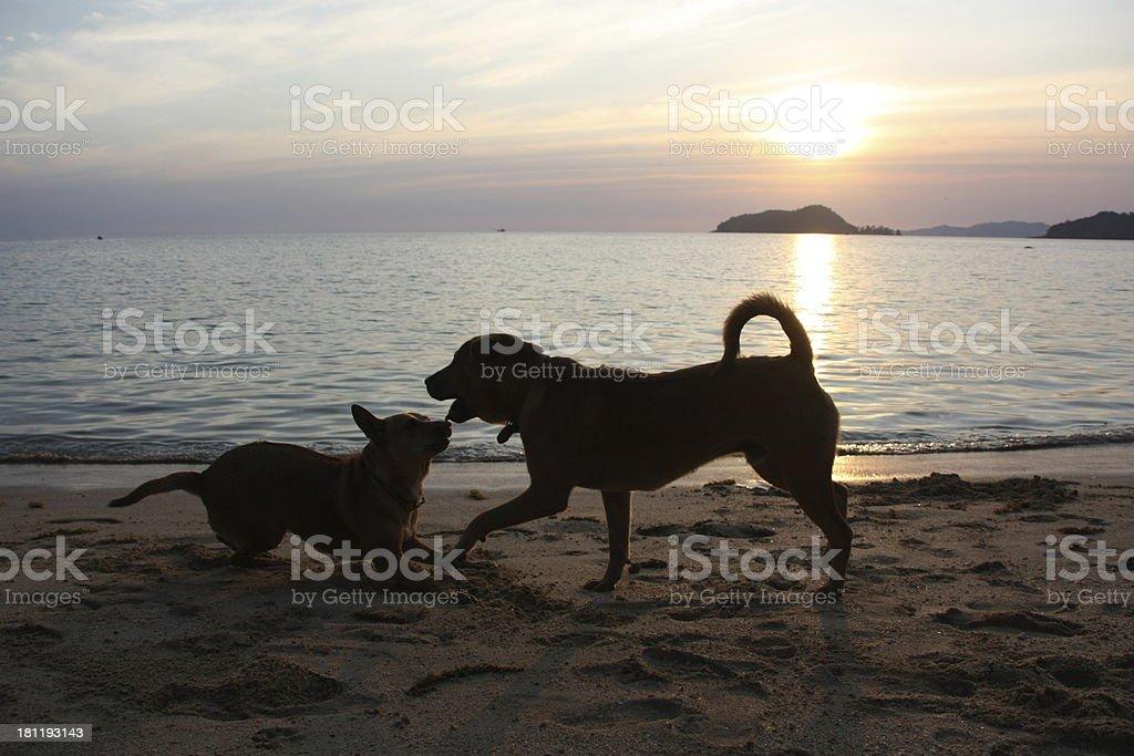 Cães a tocar no pôr do sol sobre uma Praia tropical foto de stock royalty-free