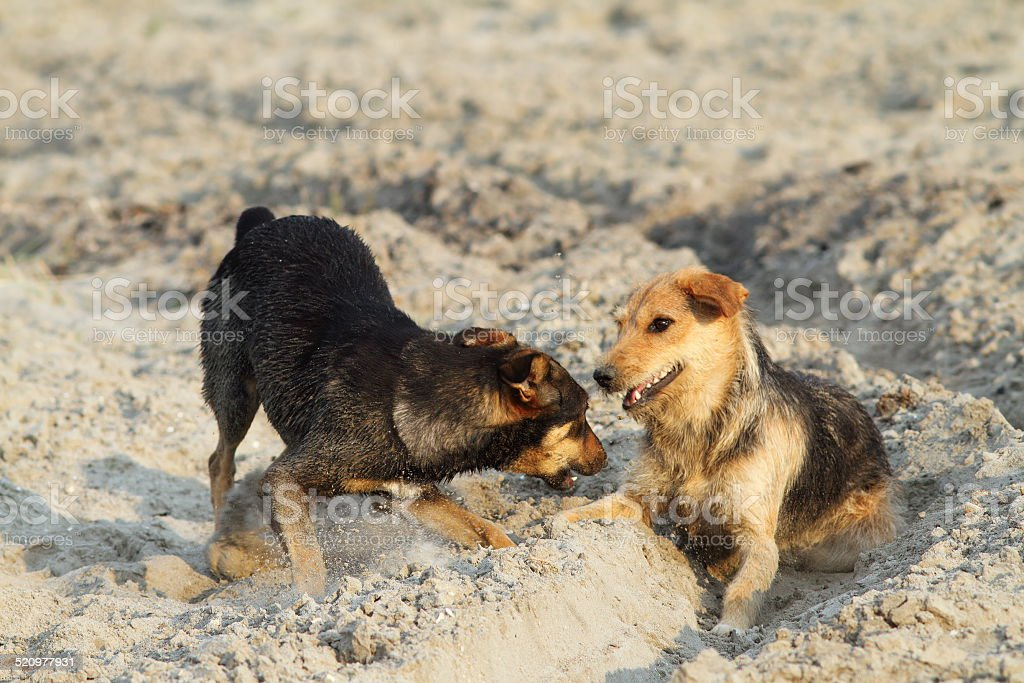 dogs playing on sandy beach stock photo