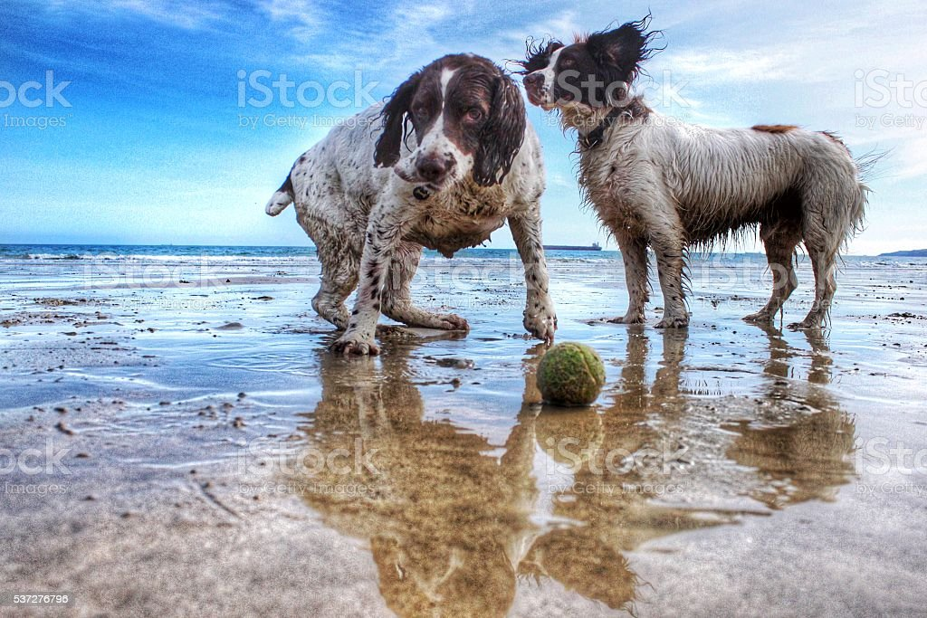Dogs playing on the beach stock photo