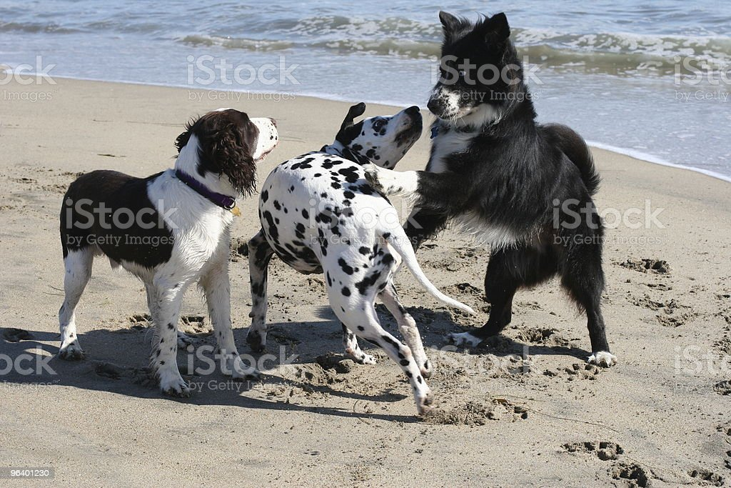 Dogs playing on the beach royalty-free stock photo