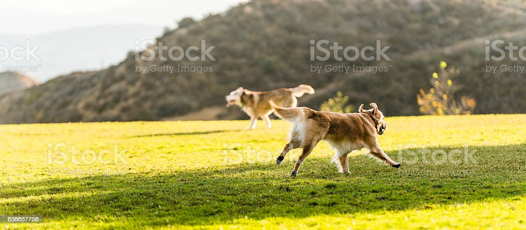 Dogs playing outdoor in the park. stock photo