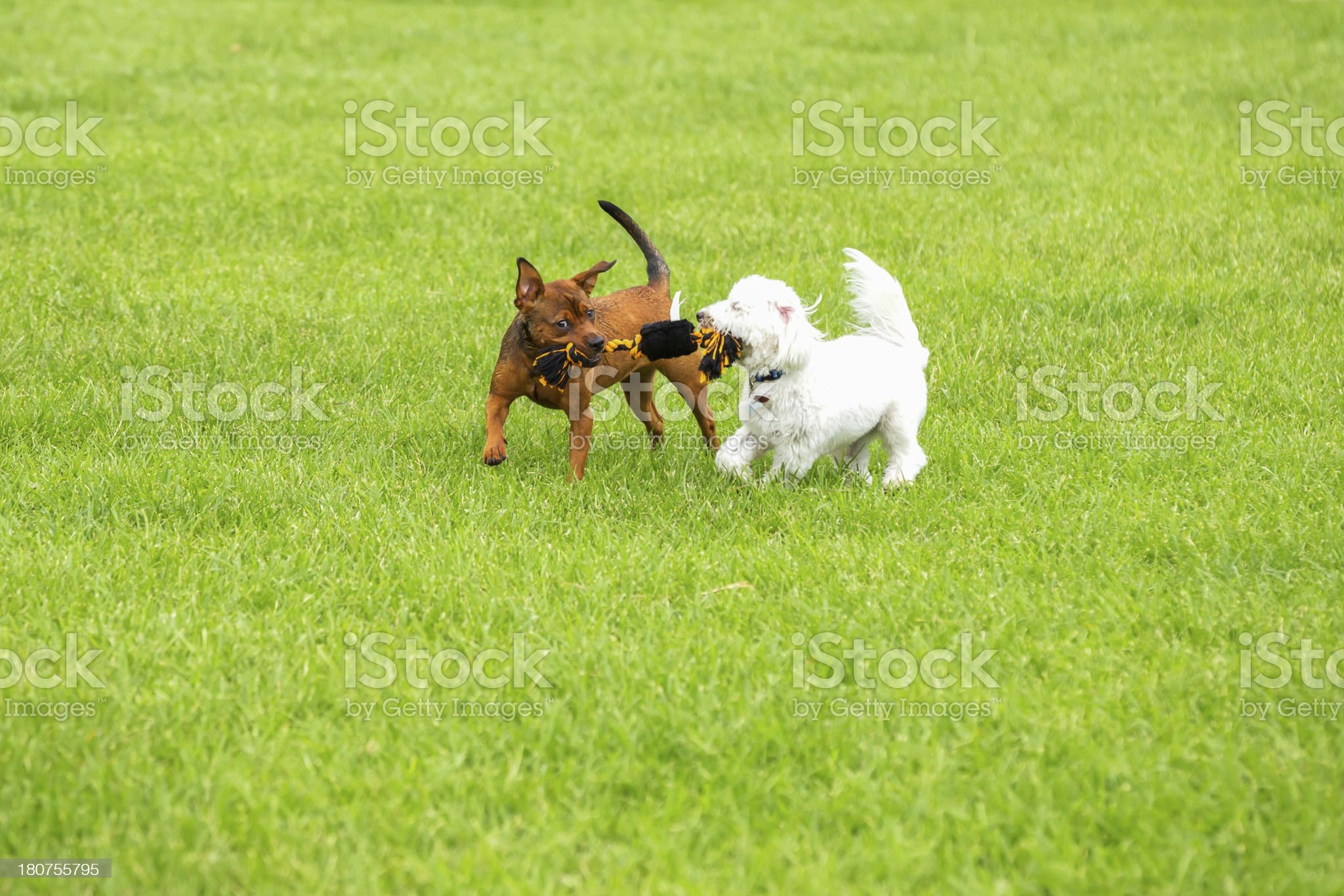 dogs playing tug of war royalty-free stock photo