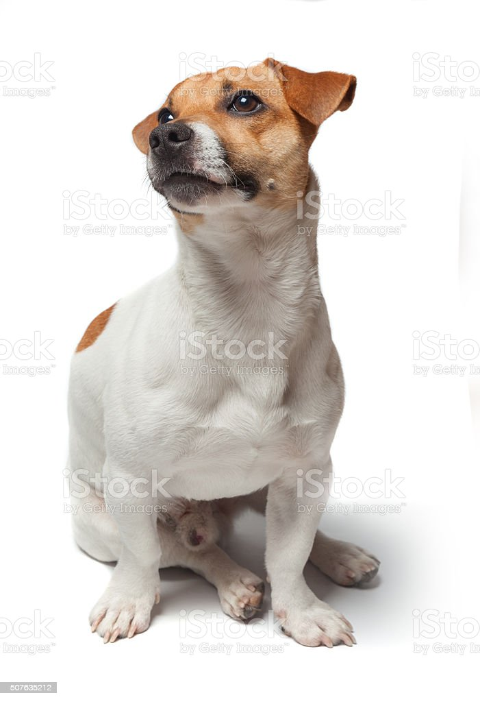 Dogs puppy isolated on white background. Jack Russell Terrier stock photo