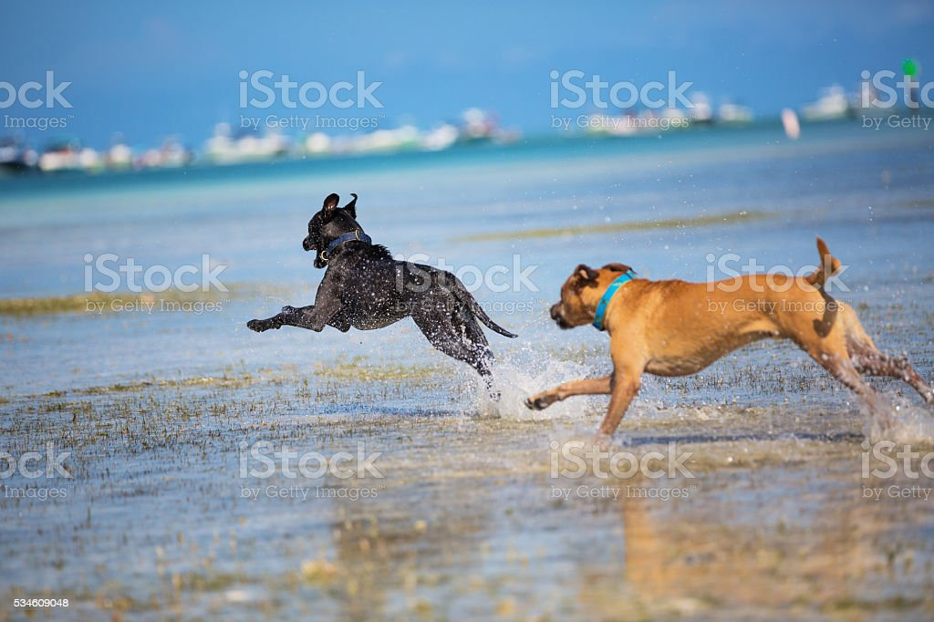 Dogs running at the beach stock photo