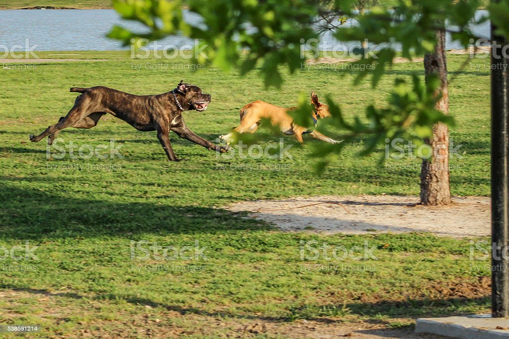 Dogs running in a dog park, park scene stock photo