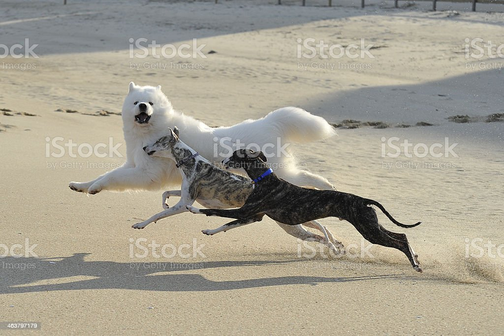 Dogs running on the Beach royalty-free stock photo